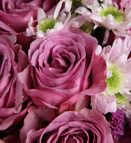 11 Stems Purple Rose with White Minor Flower