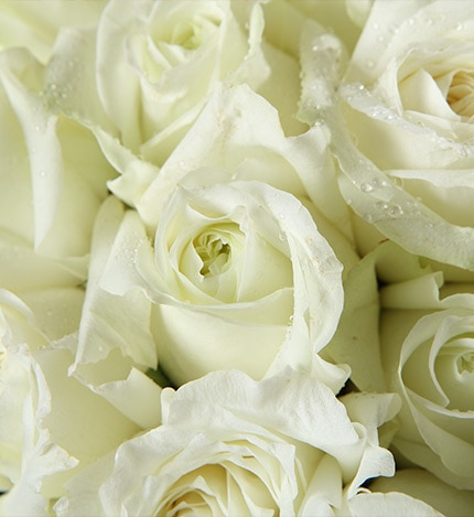 50 Stems White Rose with Light Purple Statice & Leaves