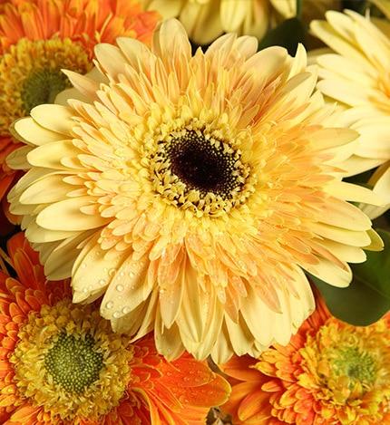 9 Stems Yellow Gerbra & 3 Stems Orange Gerbra with Heiwingia