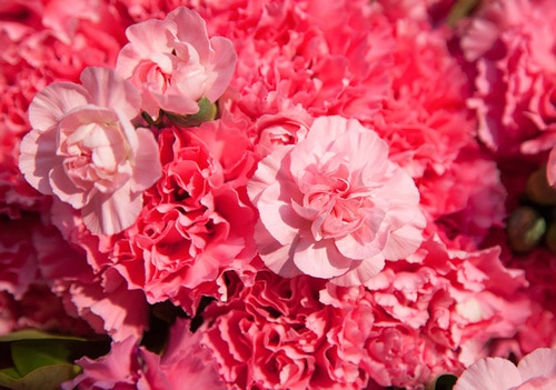 99 Stems Pink Carnation & 10 Pink Spray Carnation with Leaves