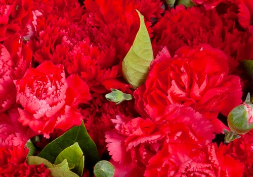 99 Stems Red Carnation with Spray Carnation & Leaves