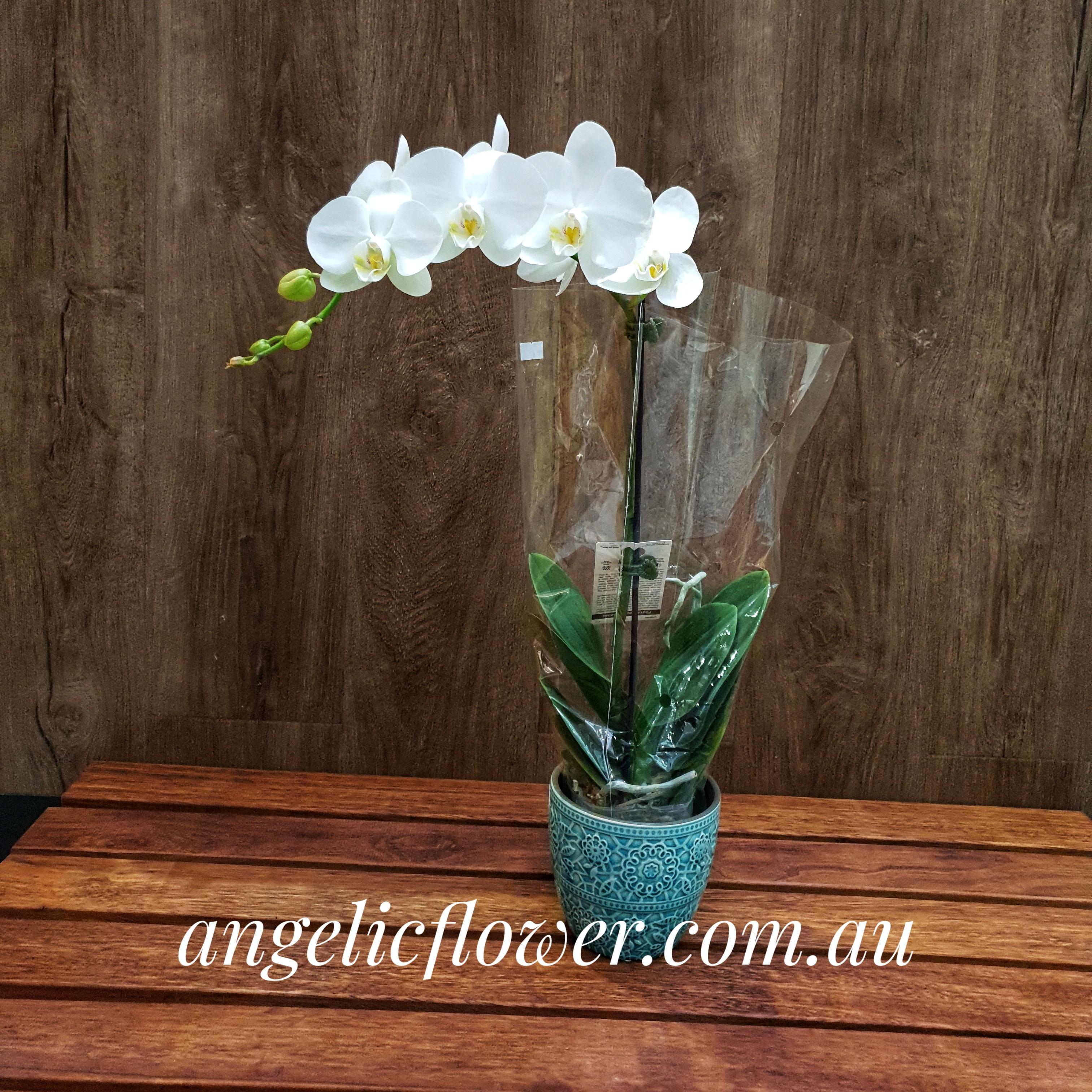 瓷砖送货单_1棵单枝3寸白色蝴蝶兰配陶瓷花盘 - Angelic Flower 爱丽花店